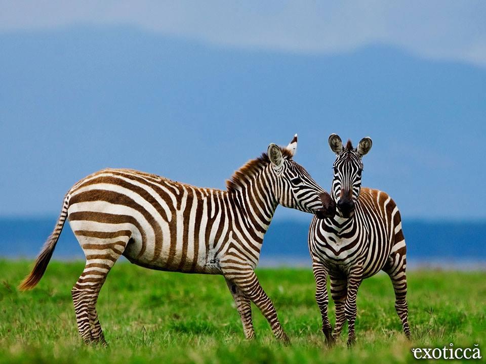 exotische Zebras