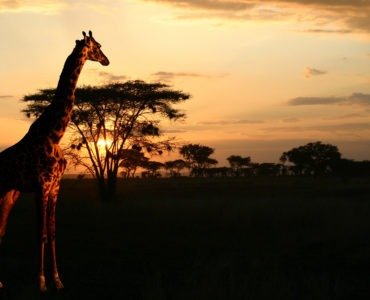 safaris-in-afrika