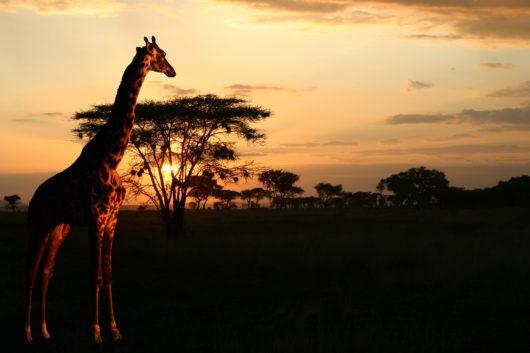 safaris-in-afrika
