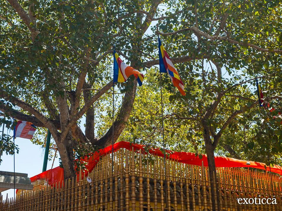 El árbol sagrado en el Templo del Sri Maha Bodhi