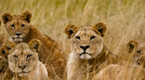 leonas en parque kruger
