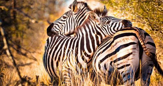 cebras juntas