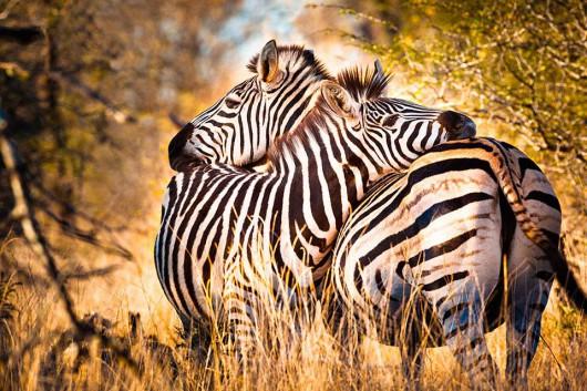 cebras2