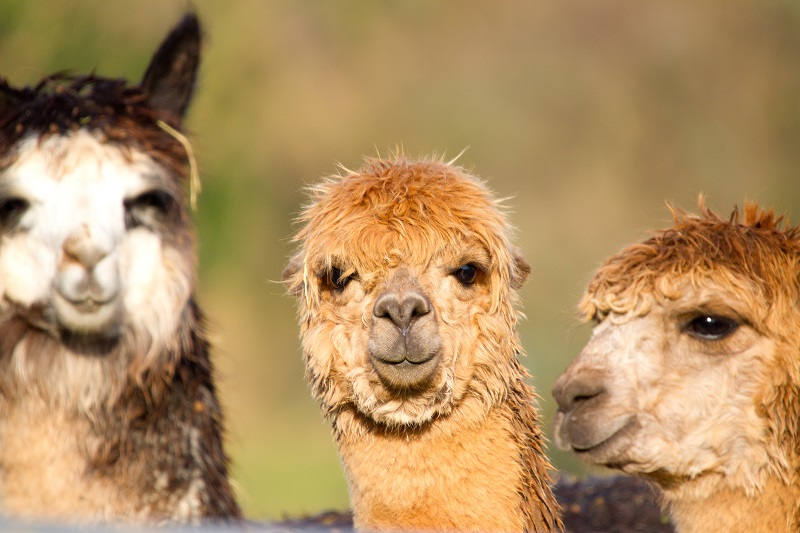que ver en chile, alpacas