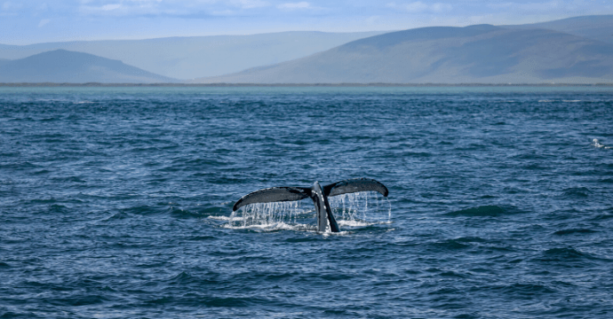 Go whale watching in Iceland
