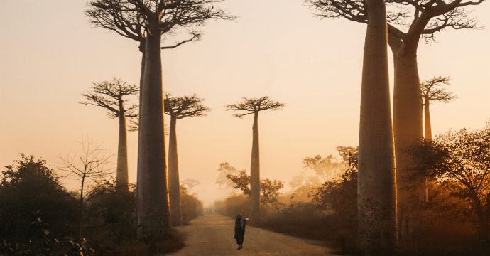 The Avenue of Baobabs on the African island of Madagas