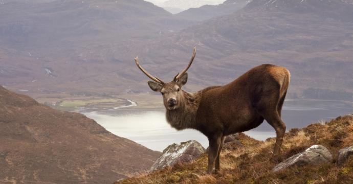 Scottish Stag in Autumn